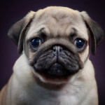 little sad puppy pug